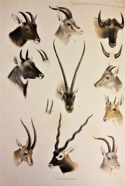 Antelopes and Wildebeasts from The Great & Small Game