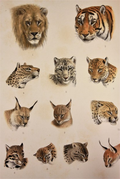 Wild cats from The Great & Small Game
